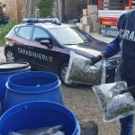 Marano, scoperti 112 chili di marijuana in un terreno agricolo: arrestati due incensurati. IL VIDEO